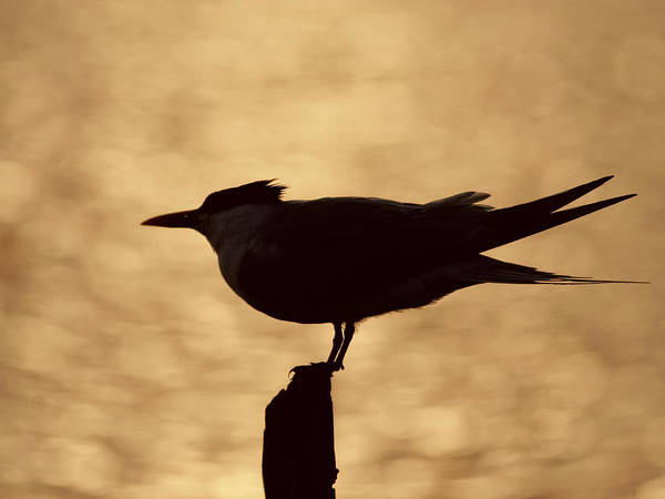 Photograph - Tern Silhouette  by Charles McKelroy