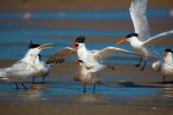 Elegant Tern Wall Art - Photograph - Tern Voyeurism by Brian Knott Photography