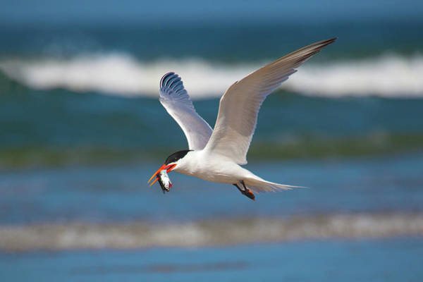 Elegant Tern Wall Art - Photograph - Tern With Fish by Brian Knott Photography