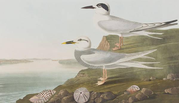 Wall Art - Painting - Terns by John James Audubon