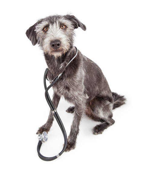 Crossbreed Wall Art - Photograph - Terrier Veterinary Dog Wearing Stethoscope by Susan Schmitz