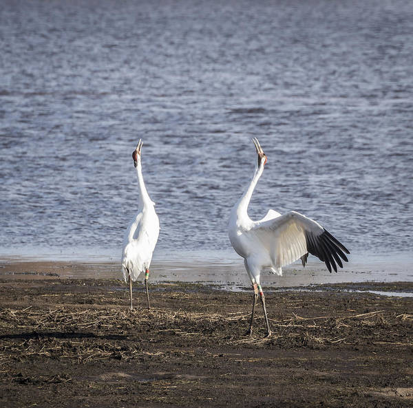 Photograph - Territorial Call Of The Whooping Cranes 2015-1 by Thomas Young