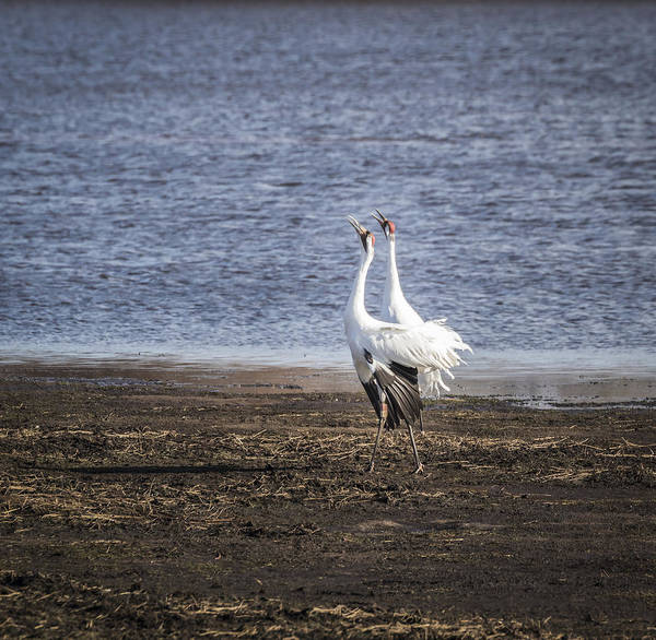 Photograph - Territorial Call Of The Whooping Cranes 2015-2 by Thomas Young