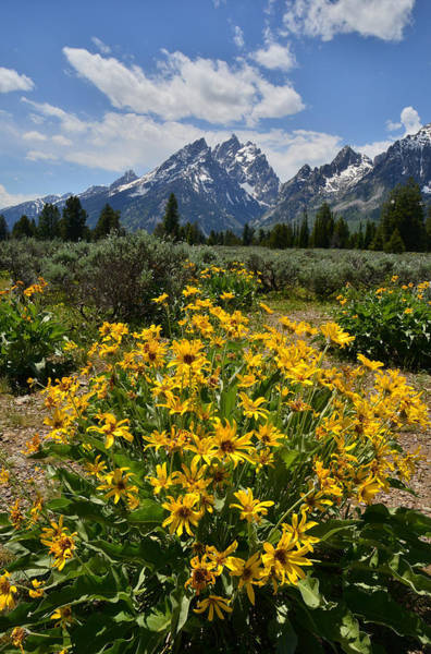Photograph - Teton Balsam Root by Ray Mathis