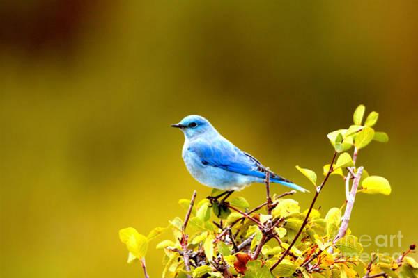 Photograph - Teton Bluebird Perch by Adam Jewell