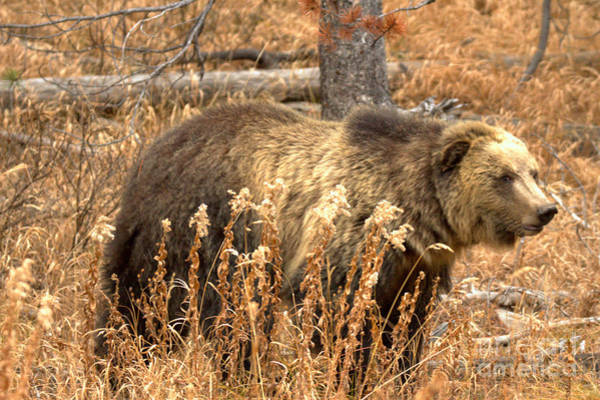 Photograph - Teton Grizzly In The Brush by Adam Jewell