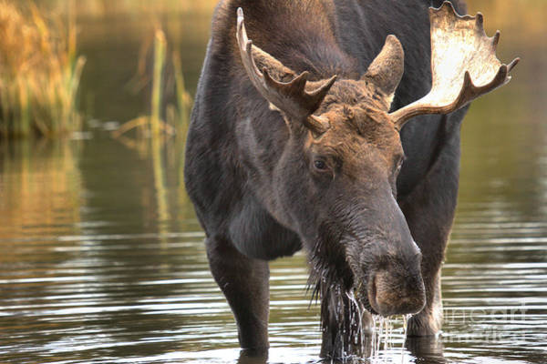 Drool Photograph - Teton Moose 1 by Adam Jewell