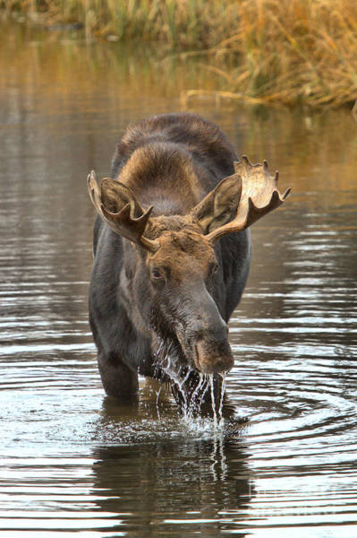 Photograph - Teton Moose Drooling With Delight by Adam Jewell