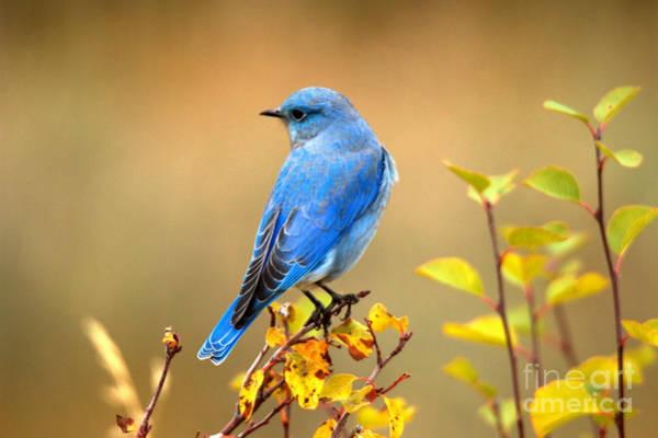 Photograph - Teton Mountain Bluebird by Adam Jewell