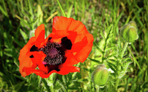 Art Print featuring the photograph Teton Poppy by Greg Norrell