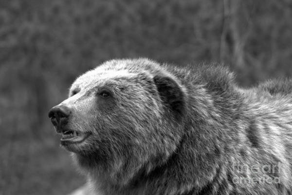Photograph - Teton Toothy Grizzly Smile Black And White by Adam Jewell