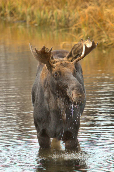 Drool Photograph - Teton Wetlands Moose by Adam Jewell