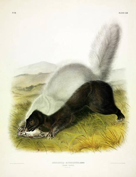 Smell Painting - Texan Skunk by John James Audubon