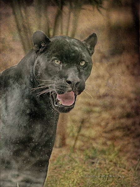 Photograph - Texas Black Leopard by Charles McKelroy