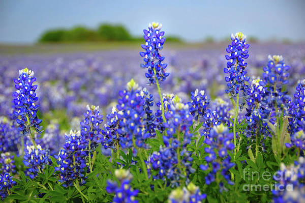 Wall Art - Photograph - Texas Blue - Texas Bluebonnet Wildflowers Landscape Flowers  by Jon Holiday