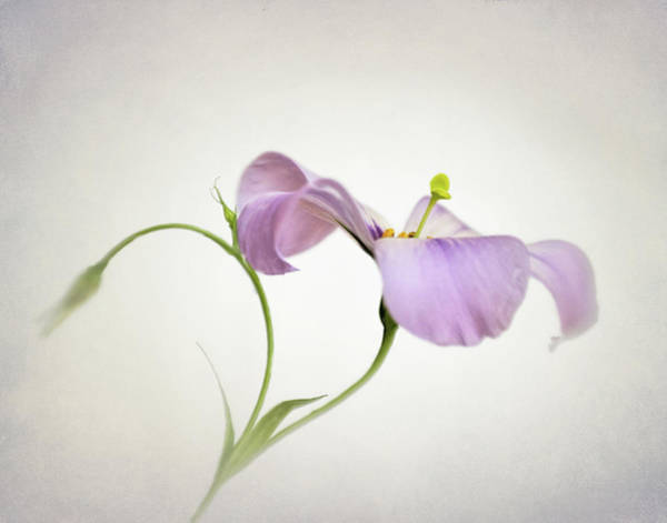 Wall Art - Photograph - Texas Bluebell Wildflower  by David and Carol Kelly