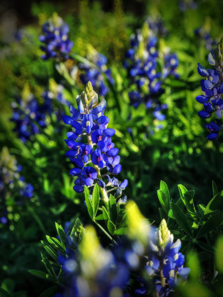 Photograph - Texas Bluebonnets 001 by Lance Vaughn