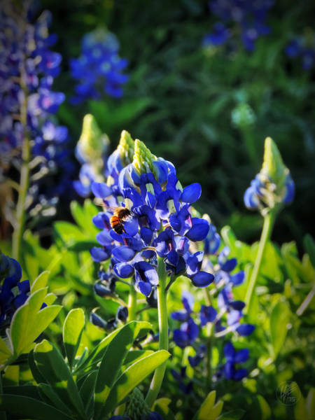 Photograph - Texas Bluebonnets 003 by Lance Vaughn