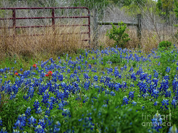 Texas Bluebonnet Digital Art - Texas Bluebonnets by Elijah Knight