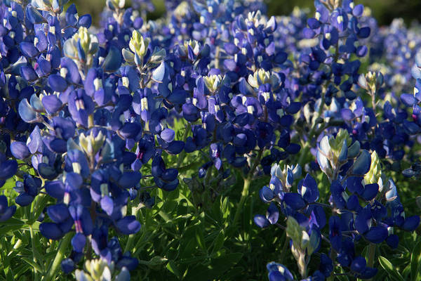 Photograph - Texas Bluebonnets In The Sun by Frank Madia