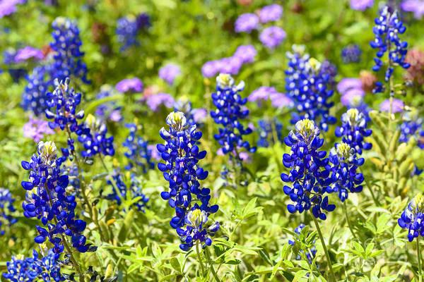 Photograph - Texas Bluebonnets  by Thomas R Fletcher