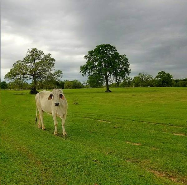 Photograph - Texas Brahman Mama by Amanda Smith