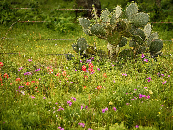 Photograph - Texas Cactus In Wildflowers by Charles McKelroy