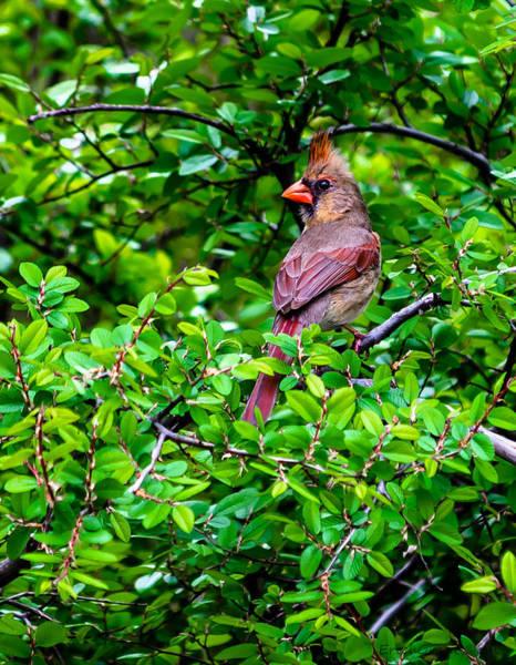 Photograph - Texas Cardinal by Erich Grant