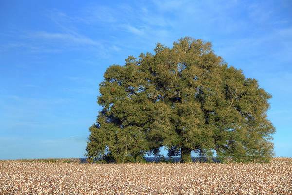 Wall Art - Photograph - Texas Cotton by JC Findley