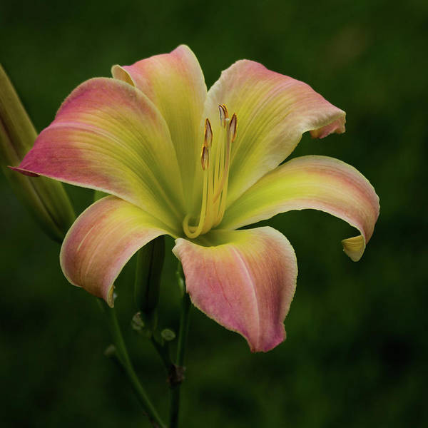 Photograph - Texas Daylily by James Woody