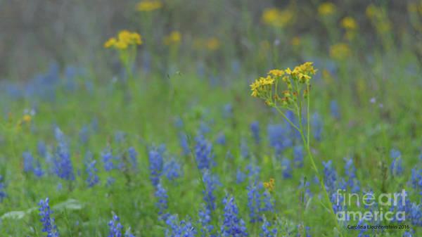 Liechtenstein Digital Art - Texas Field With Blue Bonnets by Carolina Liechtenstein