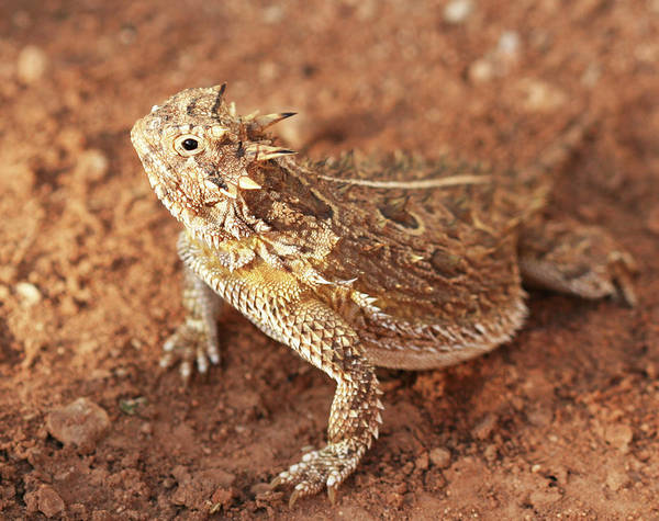 Wall Art - Photograph - Texas Horned Lizard by Derrick Neill