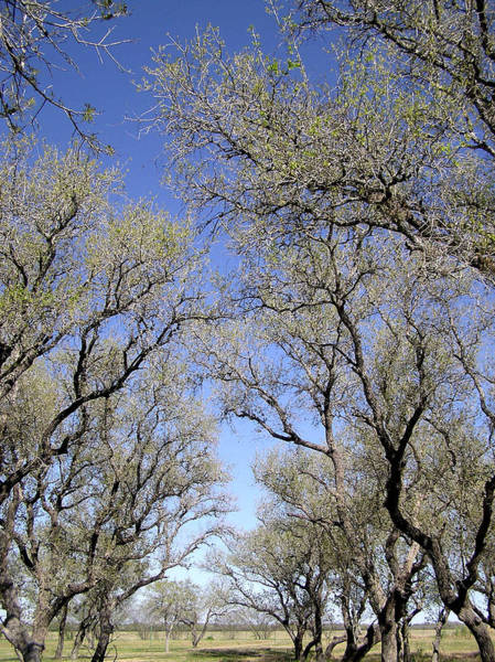 Photograph - Texas Live Oaks by Adam Johnson