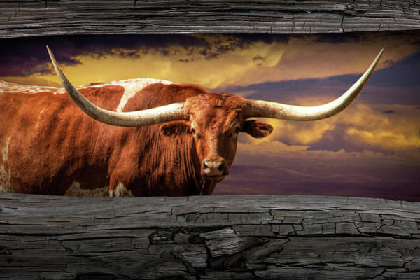 Photograph - Texas Longhorn Steer At Sunset Looking Through The Fence Rails by Randall Nyhof