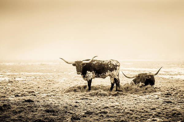 Photograph - Texas Longhorns by TL  Mair