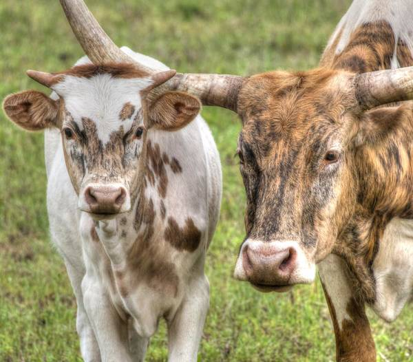 Photograph - Longhorn Mother And Son by Philip Rispin