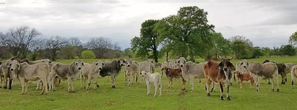 Photograph - Texas Prairie Brahmans by Amanda Smith