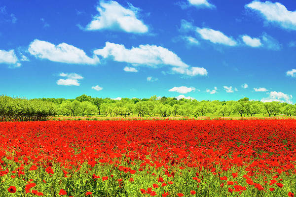 Photograph - Texas Red Poppies by Darryl Dalton