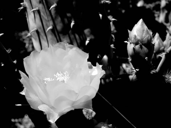 Photograph - Texas Rose II by James Granberry