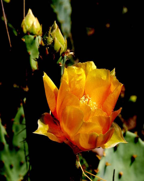 Photograph - Texas Rose IIII by James Granberry