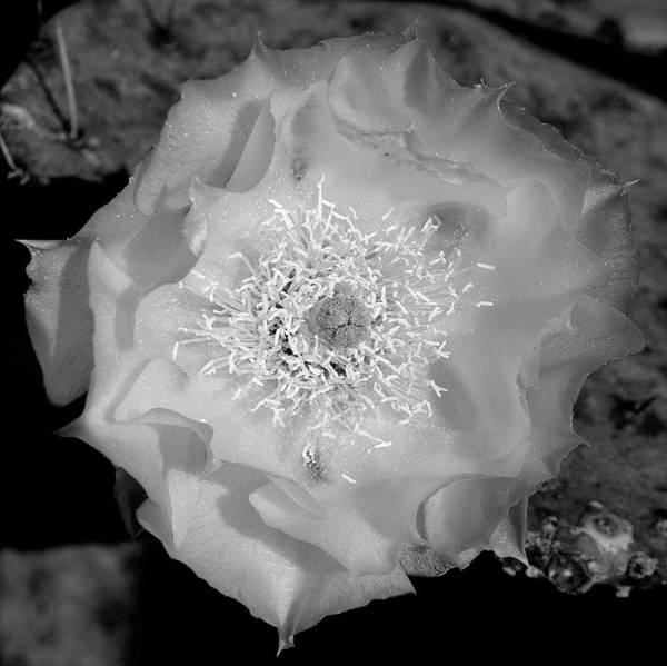 Photograph - Texas Rose Xi Black And White by James Granberry