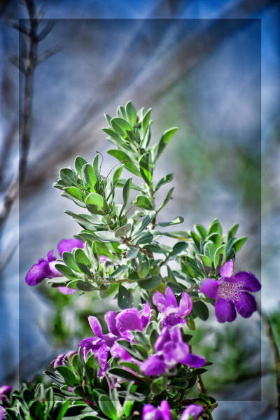 Otp Photograph - Texas Sage Revisited by Marshall Barth