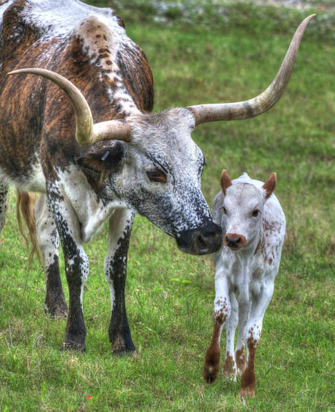 Photograph - Longhorn Calf by Philip Rispin