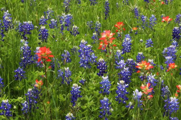 Texas Bluebonnet Photograph - Texas Wildflowers by David and Carol Kelly