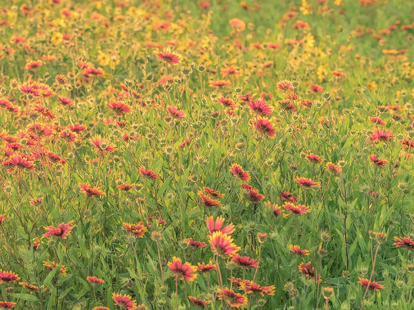 Photograph - Texas Wildflowers. by Usha Peddamatham