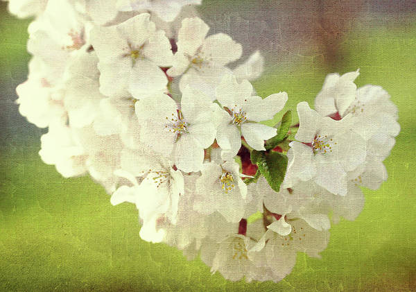 Photograph - Textured Cherry Blossoms by Trina Ansel