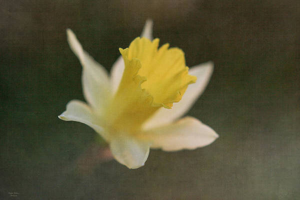 Photograph - Textured Daffodil by Mechala Matthews