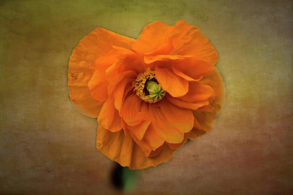 Photograph - Textured Poppy by Tom Singleton