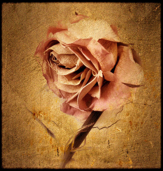 Gold Photograph - Textured Rose by Jessica Jenney