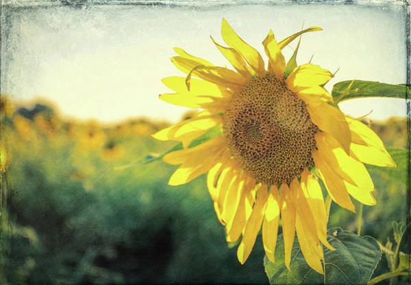 Photograph - Textured Sunflower by Dan Sproul